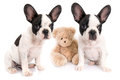 French bulldog puppies with teddy bear toy over white Stock Photo