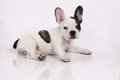 French Bulldog puppy Royalty Free Stock Photography