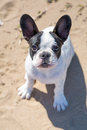 French bulldog puppy on the beach Royalty Free Stock Photography