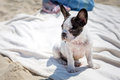 French bulldog puppy on the beach of baltic sea Stock Photos