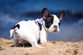 French bulldog puppy on the beach playing Royalty Free Stock Photo