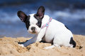 French bulldog puppy on the beach playing Royalty Free Stock Image