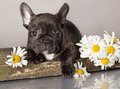 French bulldog puppy and chamomile Royalty Free Stock Photos