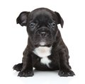 French bulldog puppy close up portrait posing on white background Royalty Free Stock Photos