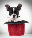 French bulldog puppy dog in a red show hat Stock Photo