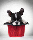 French bulldog puppy dog sleeping in a red show hat Royalty Free Stock Photography