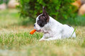 French bulldog puppy eating carrot on the grass Royalty Free Stock Photos