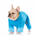 French bulldog puppy english in winter coat Royalty Free Stock Image