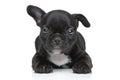 French bulldog puppy resting