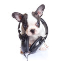 French bulldog puppy with headphones over white background Royalty Free Stock Photo