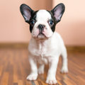 French bulldog puppy at home Stock Photography
