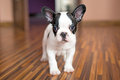 French bulldog puppy at home Royalty Free Stock Photography