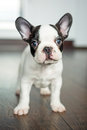 French bulldog puppy at home Royalty Free Stock Photo
