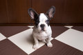 French bulldog puppy at home portrait of Stock Photos