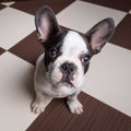 French bulldog puppy at home portrait of Royalty Free Stock Images