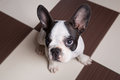 French bulldog puppy at home portrait of Stock Images