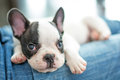 French bulldog puppy on knees lying Royalty Free Stock Photo