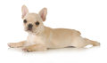 French bulldog puppy laying down looking at viewer isolated on white background Royalty Free Stock Photography
