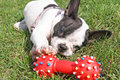 French bulldog puppy playing dog toy in green grass Royalty Free Stock Photography