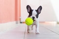 French bulldog puppy playing with his ball green Stock Image