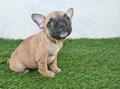 French bulldog puppy a tiny frenchie sitting in the grass looking up with copy space Royalty Free Stock Photography