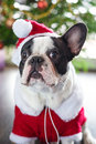 French bulldog in santa costume for christmas dressed up Stock Photos