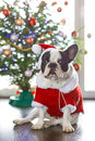 French bulldog in santa costume for christmas dressed up Royalty Free Stock Photo