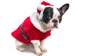 French bulldog in santa costume for christmas over white Stock Images