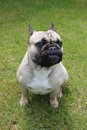 French bulldog sat on grass a beautiful Royalty Free Stock Photography