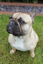 French bulldog sat on grass outside Royalty Free Stock Photography