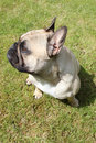 French bulldog sat outside on grass Royalty Free Stock Image