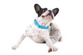 French bulldog scratching his ears over white background Stock Images