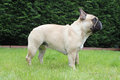 French bulldog side profile outside portrait stood on grass Royalty Free Stock Image