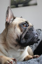 French bulldog side profile portrait Stock Image