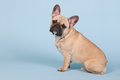 French bulldog sitting in studio on blue background Royalty Free Stock Image