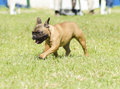 French bulldog a small young beautiful fawn brown with black mask walking on the grass looking playful and cheerful it has Stock Photo