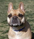 French Bulldog smiling for the camera