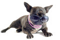 French bulldog and sunglasses Royalty Free Stock Photos