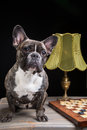 French bulldog of tiger color with checkers on black portrait cute background Stock Photo