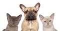 French bulldog and two kittens together cat dog series portrait on white background Stock Photography