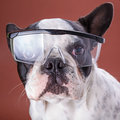 French bulldog wearing safety glasses over brown Stock Photography