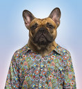 French bulldog wearing a spotted shirt blue background Stock Images