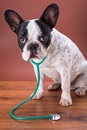 French bulldog wearing a stethoscope like animal doctor Royalty Free Stock Photos