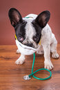 French bulldog wearing a stethoscope and mask like doctor Stock Image