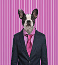French bulldog wearing a suit pink background isolated on white Royalty Free Stock Images