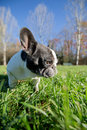 French bulldog into the wild