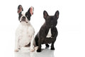 French bulldogs isolated on white Royalty Free Stock Photos