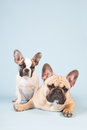 French bulldogs in studio together with blue background Stock Photography