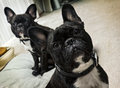 French bulldogs two inside the house Stock Image