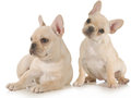 French bulldogs two puppies isolated on white background Royalty Free Stock Images